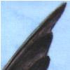 sm_frigatebird
