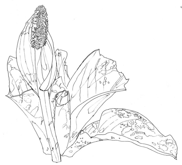 ink_skunk_cabbage-full