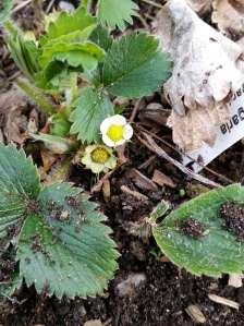 Tiny first strawberry flowers